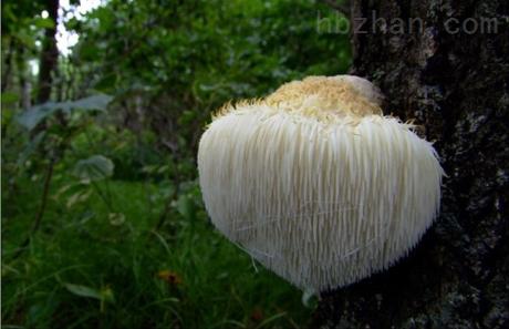 猴头菇多糖-猴头菇多糖-大兴安岭林格贝寒带生物科技